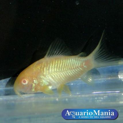 Coridora Albina 3-4cm...