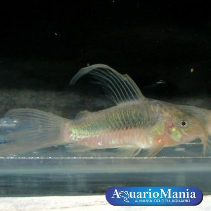 Corydora Aenus Veu 2,5-3,5cm