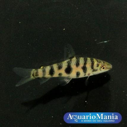 Leporinus Octomoculata 4-5cm