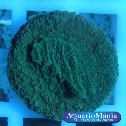 Coral Montipora...