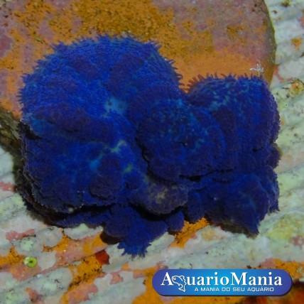 Coral Mush Tonga Blue (1...