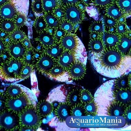 Coral Zoanthus Blue Hornet...