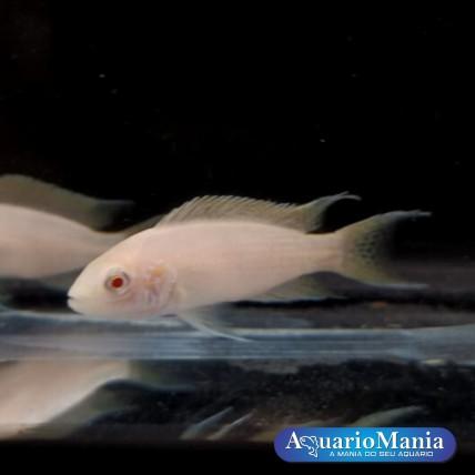 Brichardi Albino 3-4 cm...