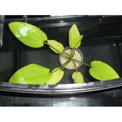Planta Echinodorus...