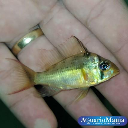 Papilochromis Red 3-5cm