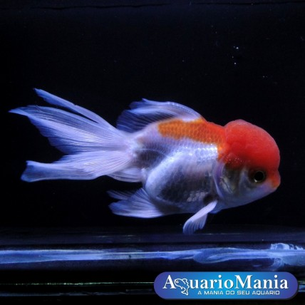 Kinguio Oranda Red White M
