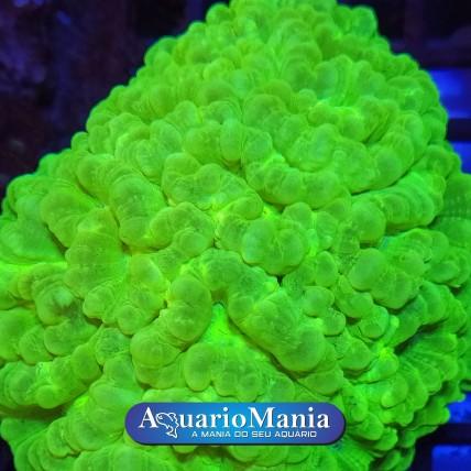 Coral Trumpet Criptonita 1...
