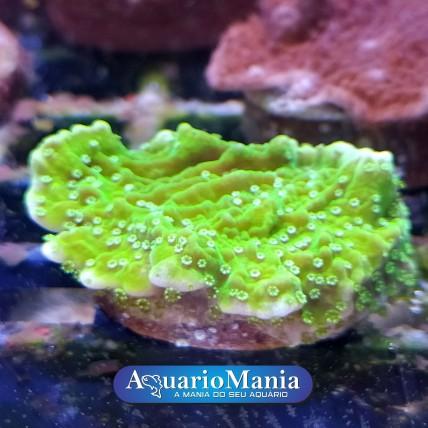 Coral Montípora Capricórnio...