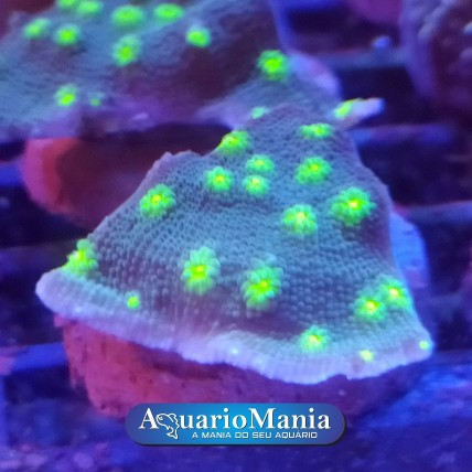 Coral Cálice Hollywood...