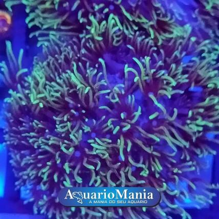 Coral Star Polips Green Peq...