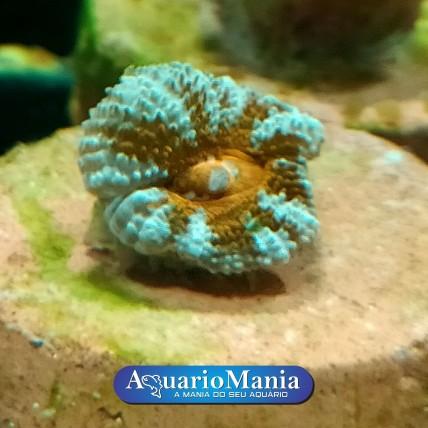Coral Acantastrea 1-2 cab...