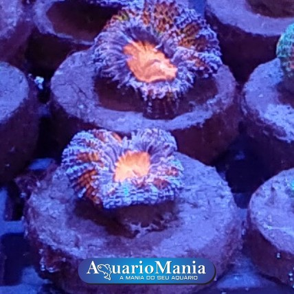 copy of Coral Acantastrea...
