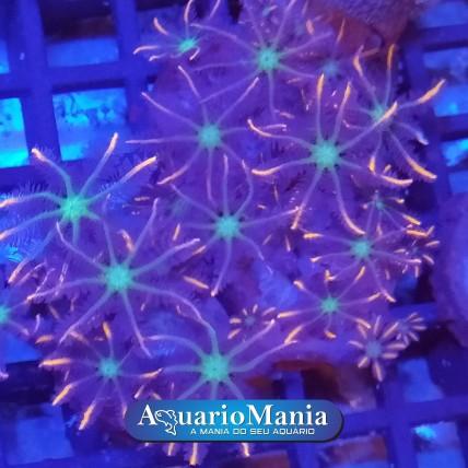 Coral Cloves Papaya +5...