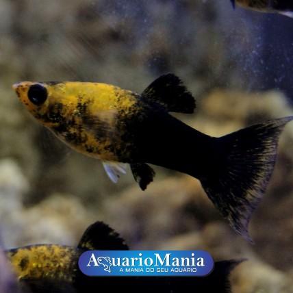 Molinésia Gold Black Lyra...