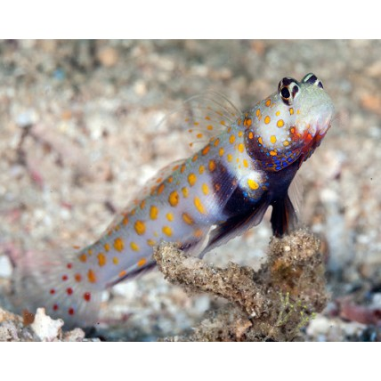 Goby Orange Spotted...