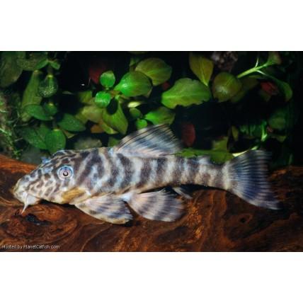 Cascudo Tigre L002 (Panaque...