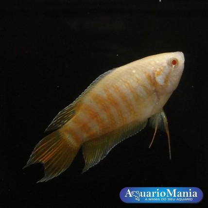 Peixe Paraiso Albino 4-6cm