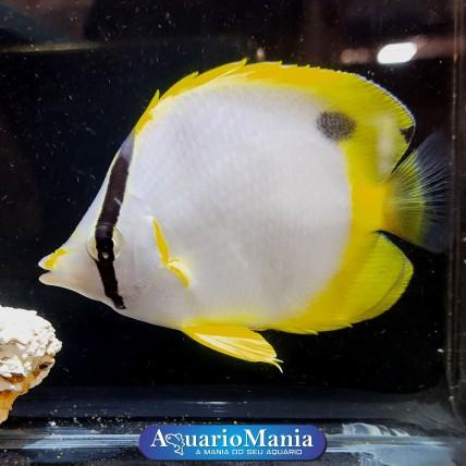 Borboleta Ocellatus...