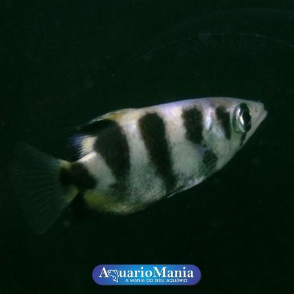 Peixe Arqueiro Peq (Toxotes...