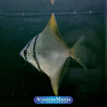 Mono Argenteus 5 cm...