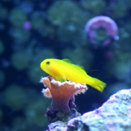 Clown Goby Yellow (Gobiodon...