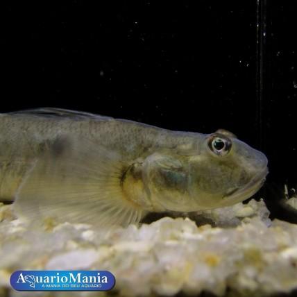 Goby Pavão10-15cm