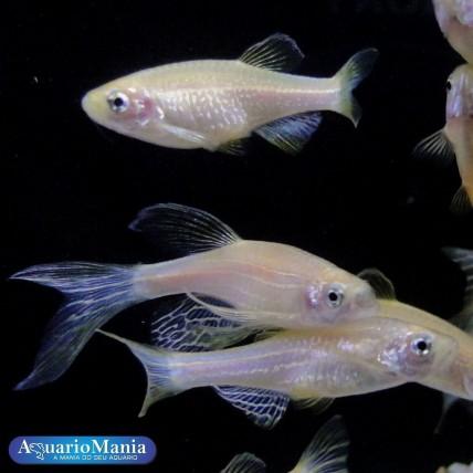 Paulistinha Gold 3-4 cm