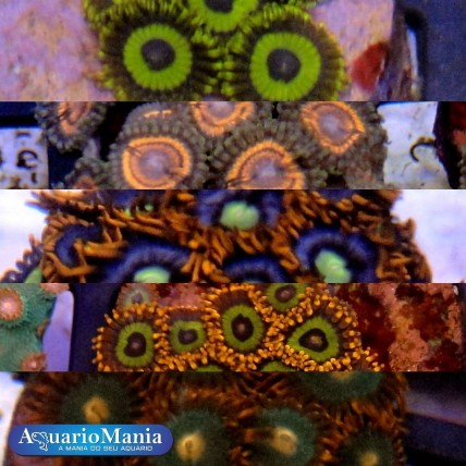 Coral Zoanthus Mix (Mesmo...