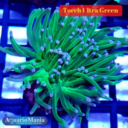 Coral Torch Ultra Green ( 1...