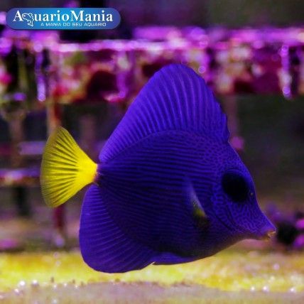 Purple Tang 6 cm