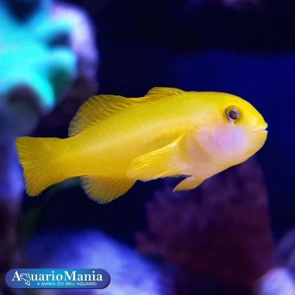 Clown Goby Yellow (Gobiodon...