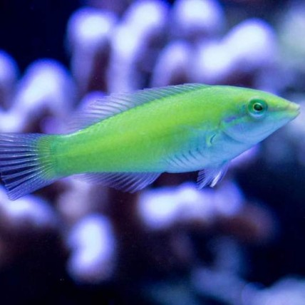 Green Coris 4 - 5 cm