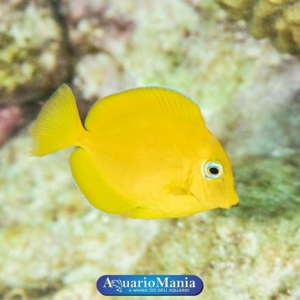 Tang Mimic Yellow...
