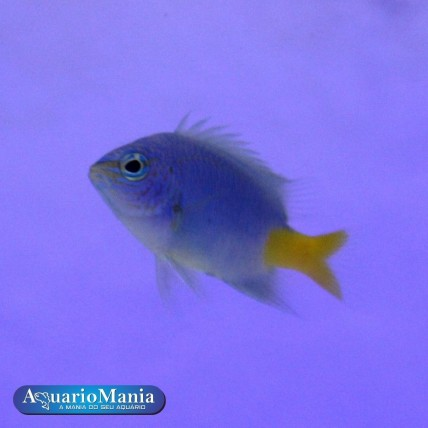 Donzela Yellow Tail Blue...