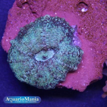 Coral Mushroom green marble...