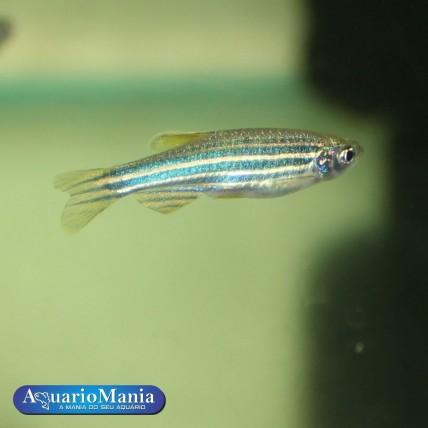 Paulistinha 3-4 cm