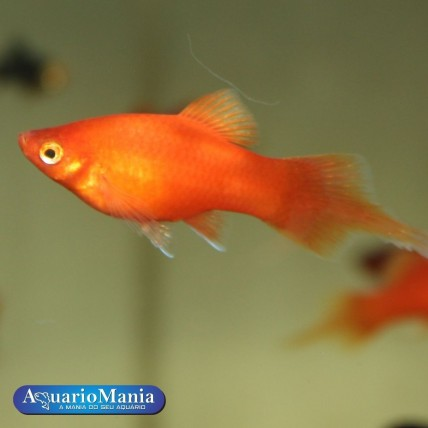 Platy Red Coral Seta 3-4 cm...