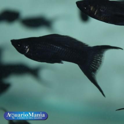Molinésia Preta Lira 3-4 cm