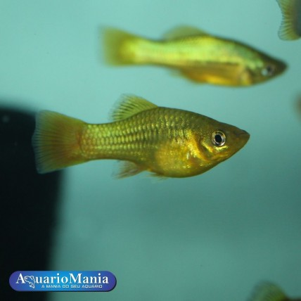 Platy Variatus 3 - 4 cm