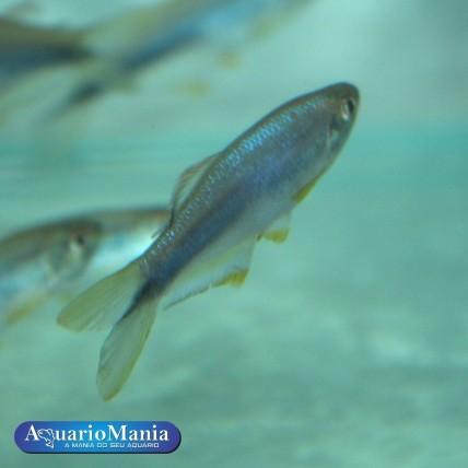 Danio Azul 3 - 4 cm...