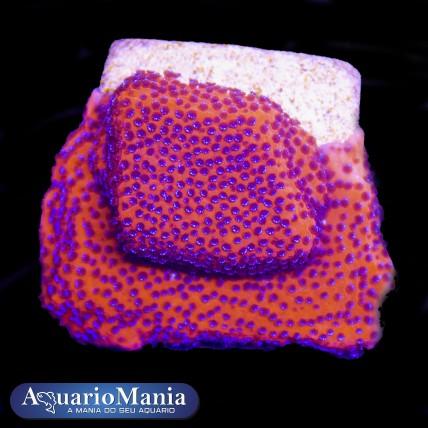 Coral Montipora Mystic...