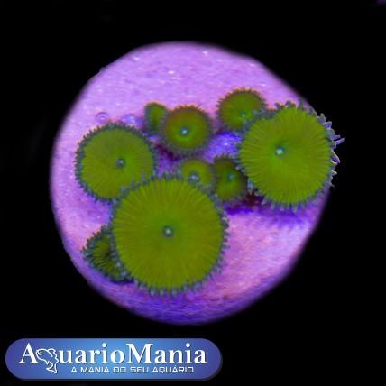 Coral Palitoa Nuclear Green...