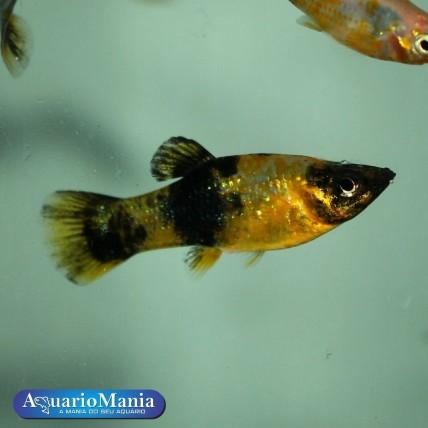 Molinésia Tigre  3 - 4 cm