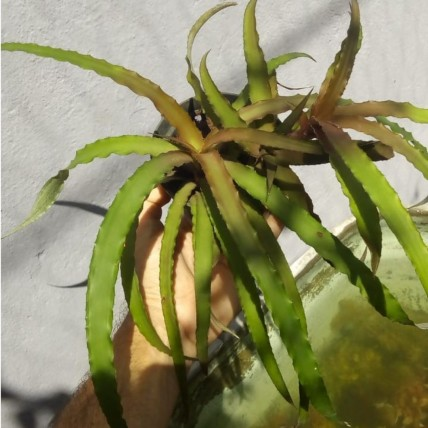"""Cryptanthus sp. 'Cascade"""""""