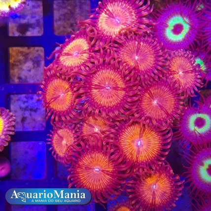 Coral Zoanthus Super Orange...