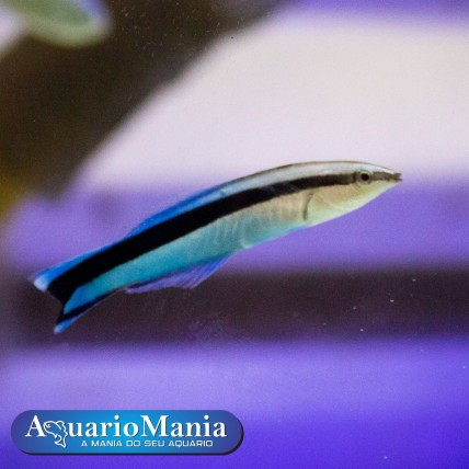 Wrasses Cleaner  (Labroides...