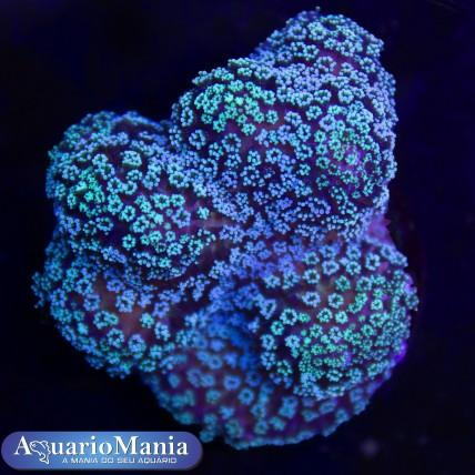 Coral Stilophora Green +3cm...