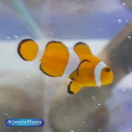 Peixes Palhaço Ocellaris...