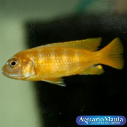 PSEUDOTROPHEUS SAULOSI  2-4 cm