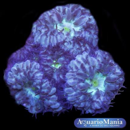 Coral Blastomussa Purple Green